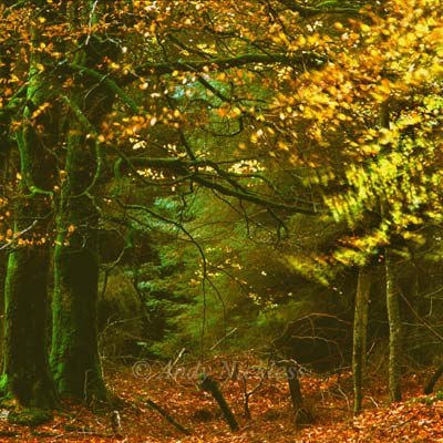 Photo of golden leaves in an Elan Valley forest