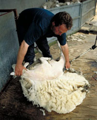 Close up photo of a man shearing a sheep