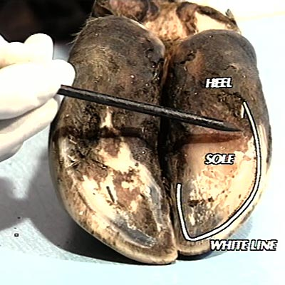 Picture showing the sole, heel and white line in a cow's hoof