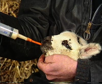 Feeding a new-born lamb, using a syringe with a teat on the end of it