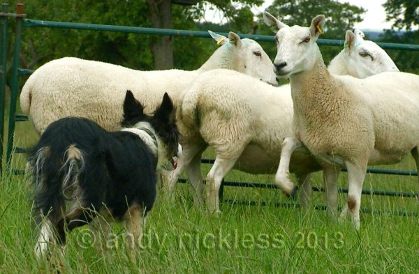 Trainee sheepdog Kay stands her ground as a sheep threatens her